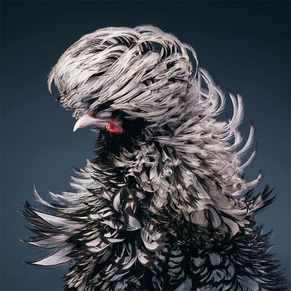 Chim Silver-Laced Rooster